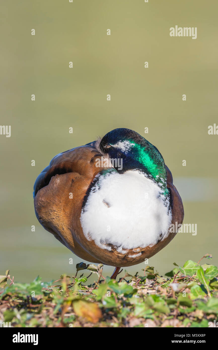 Drake green headed hybrid Manky Mallard duck standing resting by a lake in Winter in West Sussex, England, UK. Portrait - Stock Image