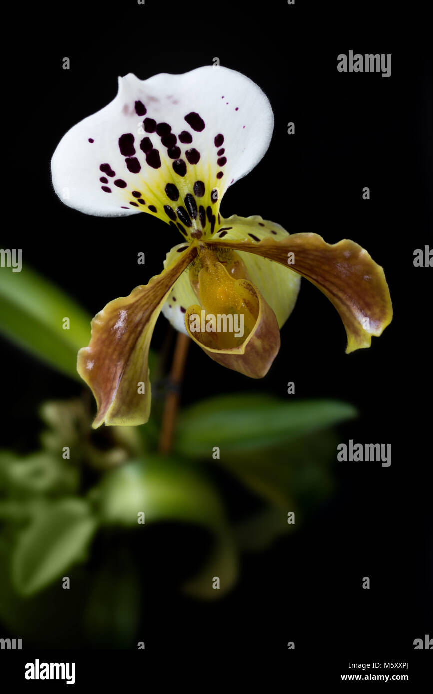Yellow Lady slipper (paphiopedilum) orchid, on black background - Stock Image