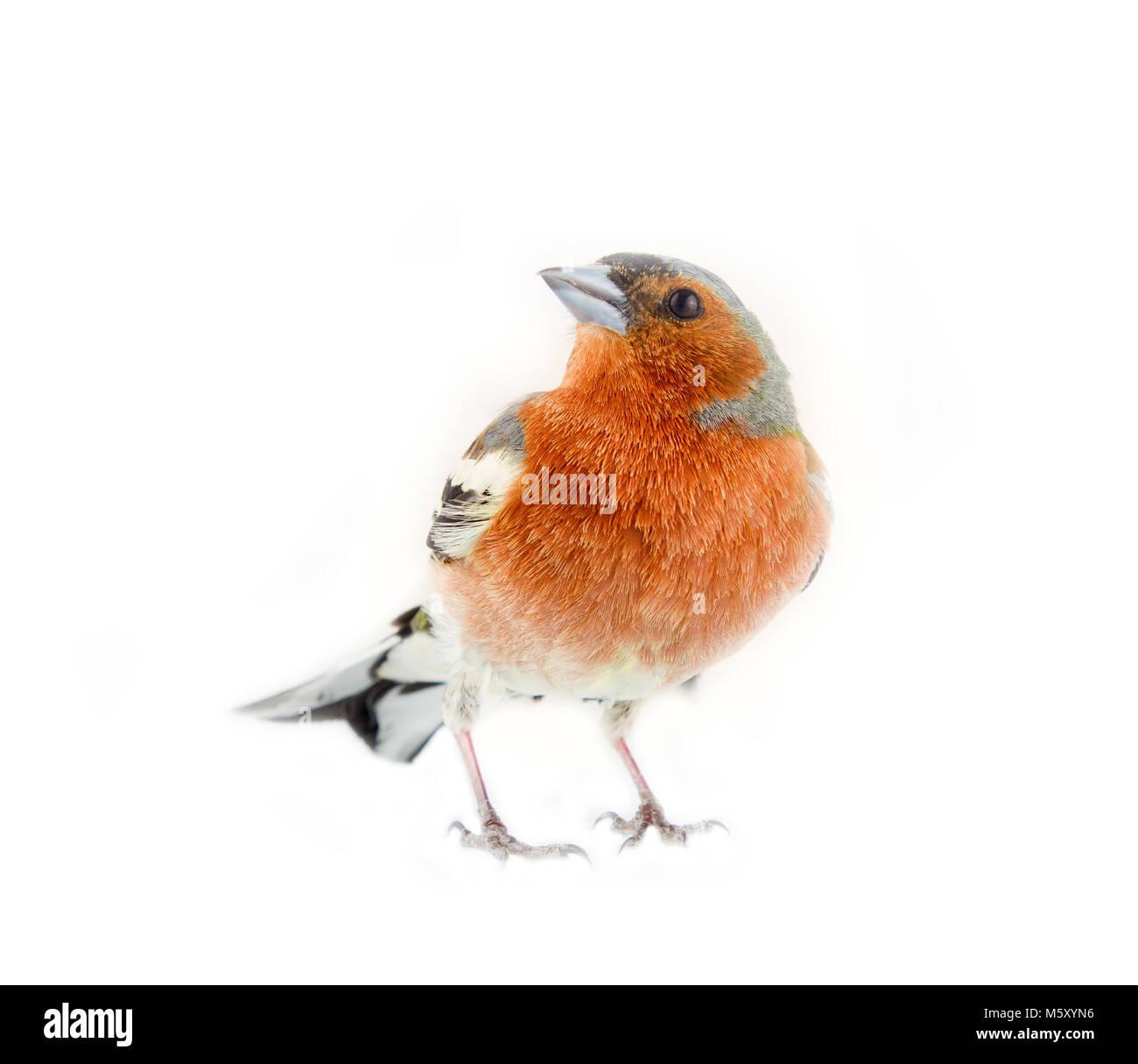 chaffinch (Fringilla coelebs) most common bird of Europe, forest bird, finches, thick beak, granivorous birds - - Stock Image