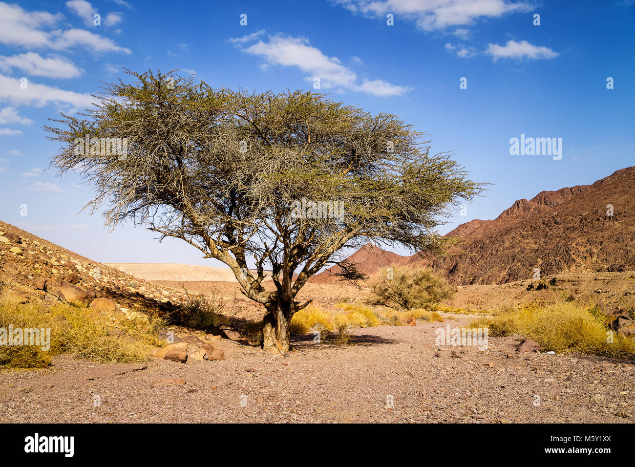 Lonely dry tree in valley of arid sandstone Negev desert near Eilat, Israel. Hiking pathway to Red canyon. - Stock Image