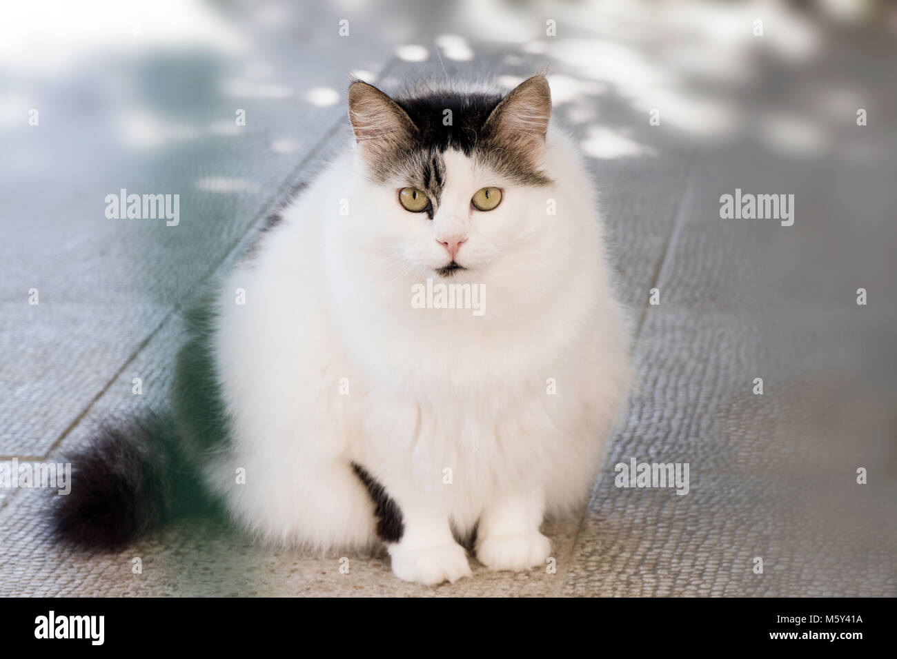 Portrait of lovely adopted fat cat in pet hospital for treatment - Stock Image