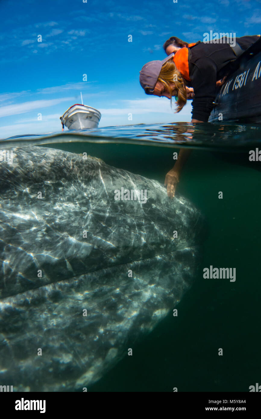 A gray whale approaches a small boat where nature tourists are able to touch the whale in Magdalena Bay, Baja California - Stock Image