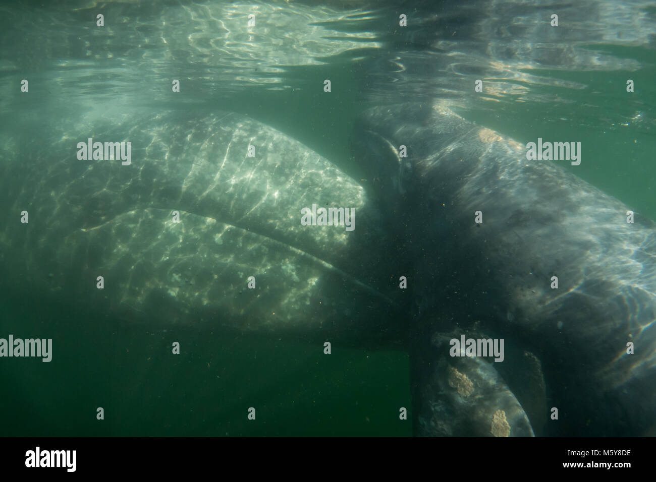A curious gray whale approached tourists in small boats in Magdalena Bay, Baja California Sur, Mexico - Stock Image