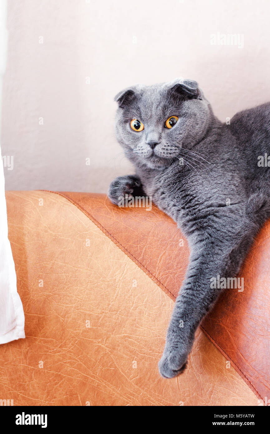 surprised gray british cat elongated paw - Stock Image