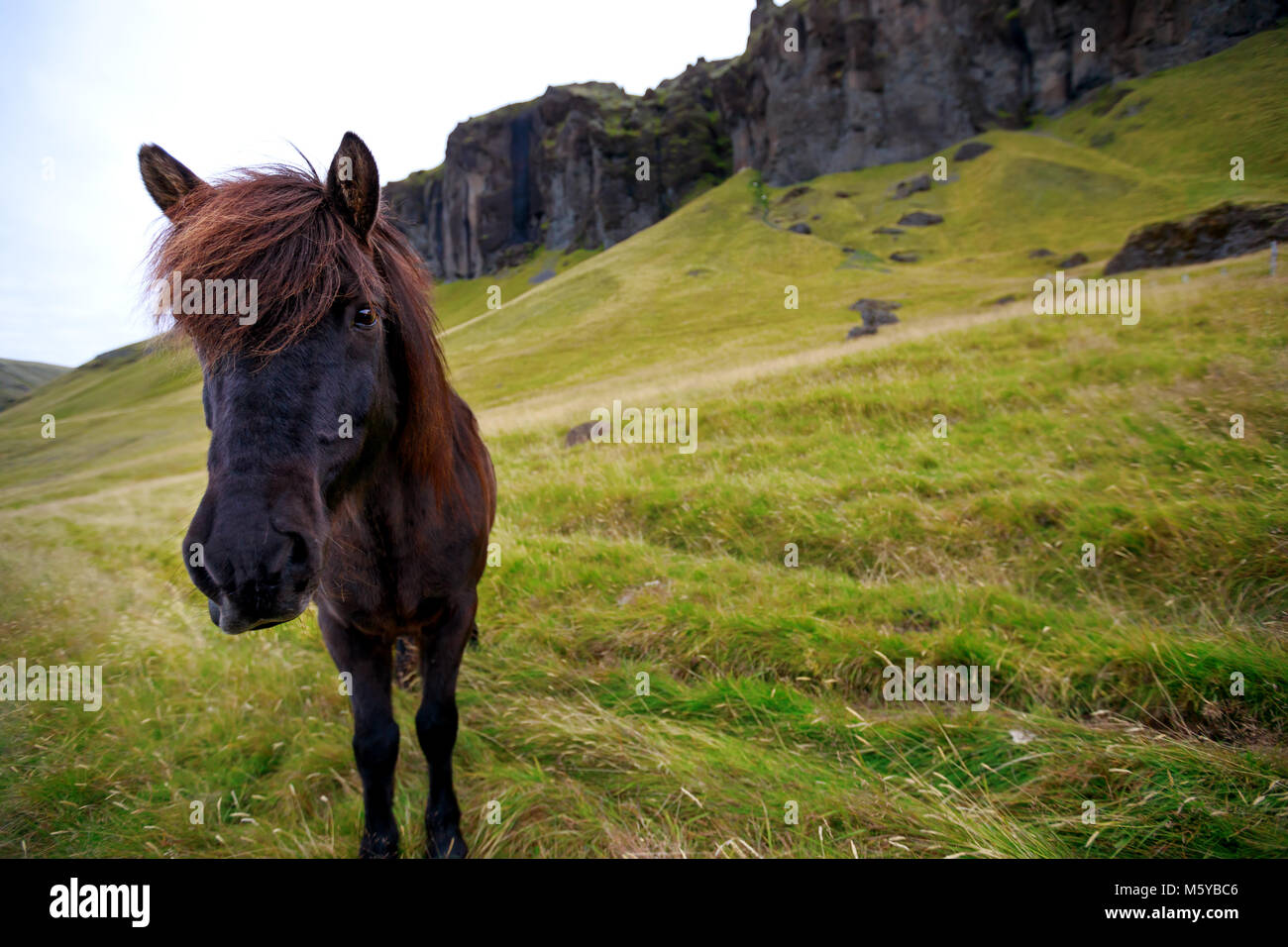 A lone Icelandic horse in the countryside of Iceland - Stock Image