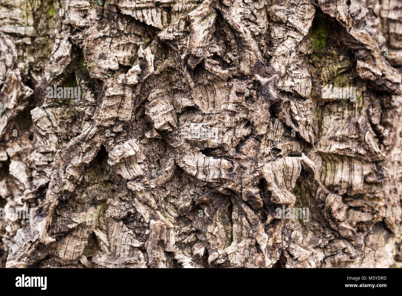 Old tree bark textured. Crooked and wry surface. Weathered and aged wooden texture with deep furrow - Stock Image