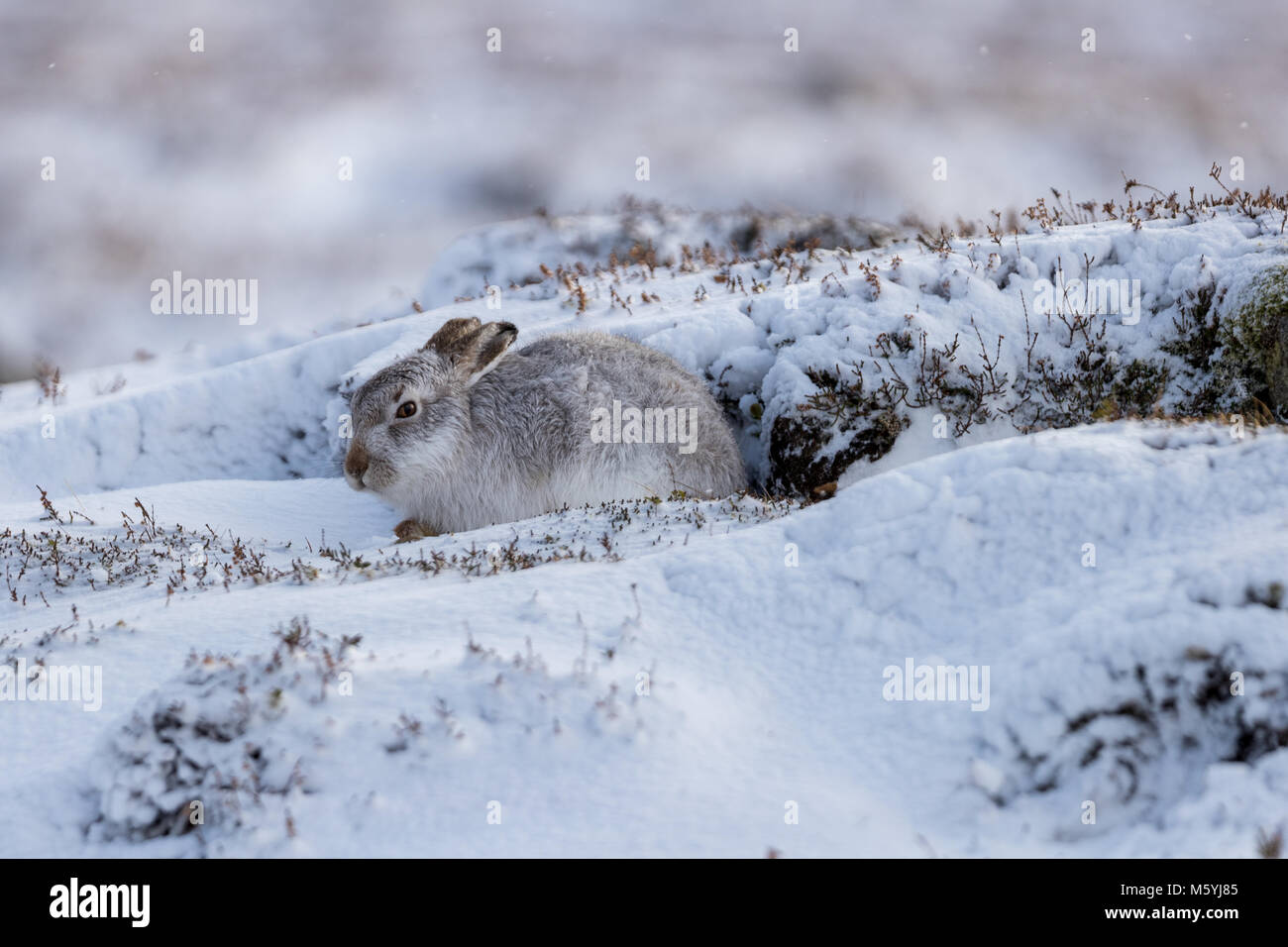Mountain hare (Lepus timidus) sitting sheltered  in the snow. - Stock Image