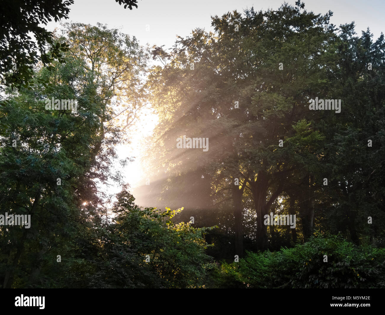Early morning sunbeams through trees Stock Photo