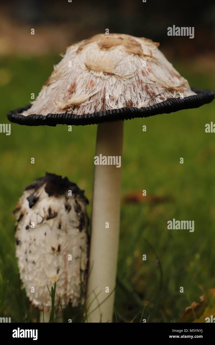 Shaggy ink cap fungus - Stock Image