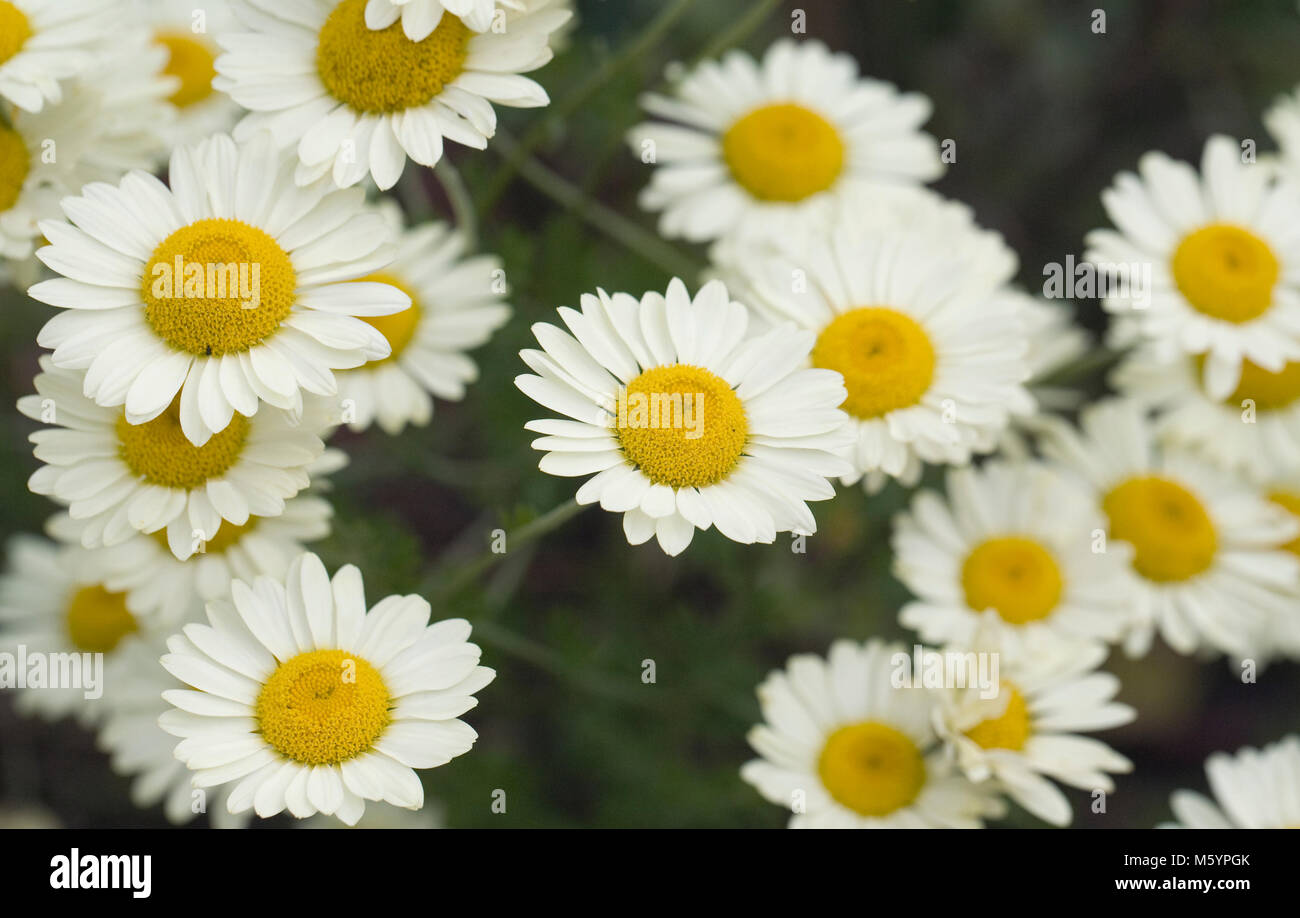 Anthemis tinctoria E.C.Buxton flowers. Stock Photo