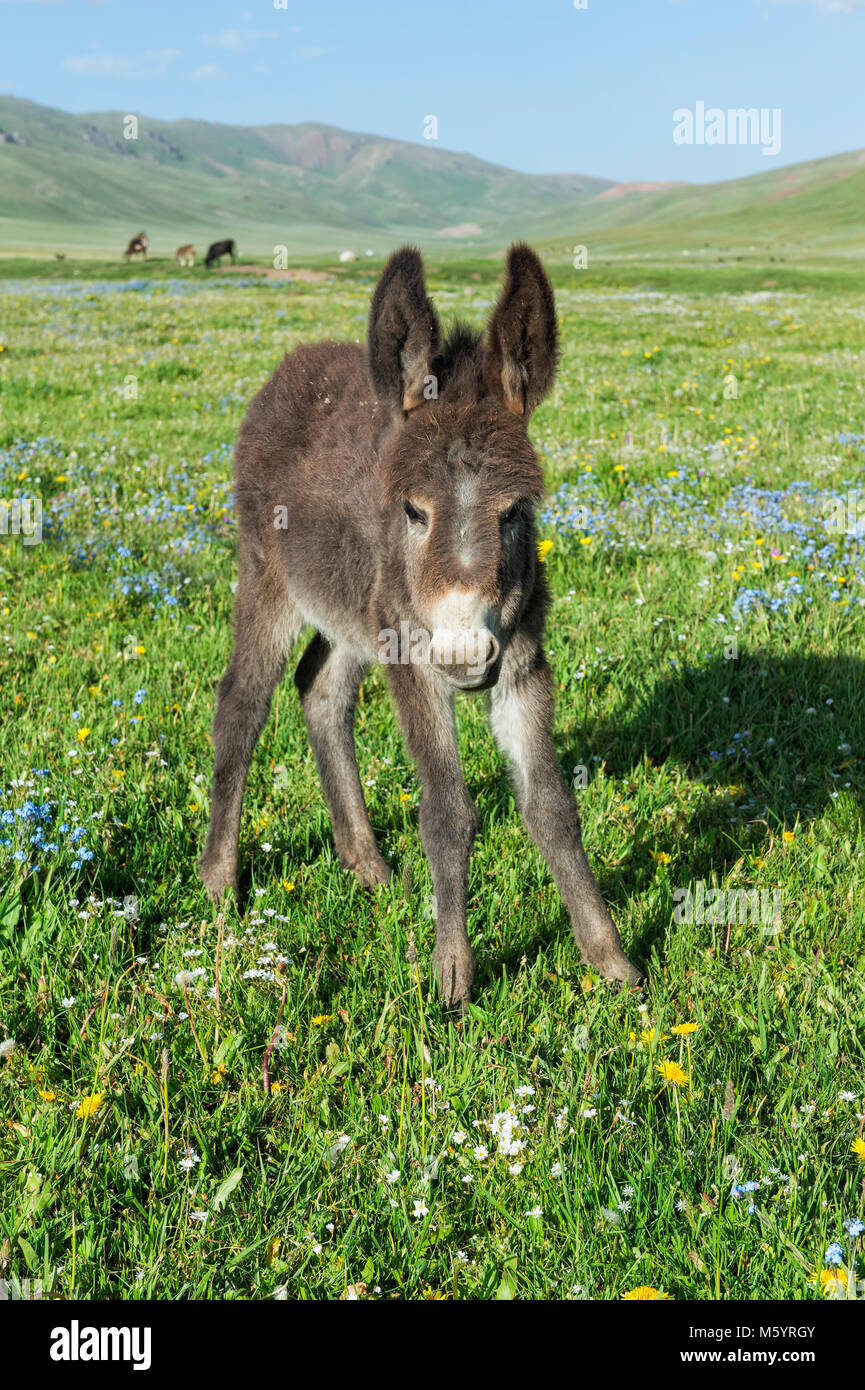 Donkey, Song Kol Lake, Naryn province, Kyrgyzstan, Central Asia Stock Photo
