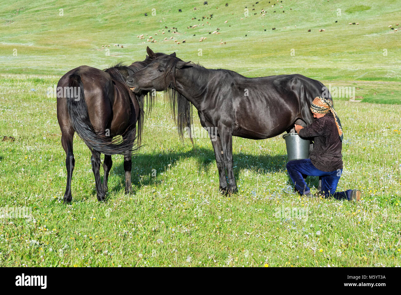 Kyrgyz woman milking a mare on mountain pastures, Song Kol Lake, Naryn province, Kyrgyzstan, Central Asia Stock Photo