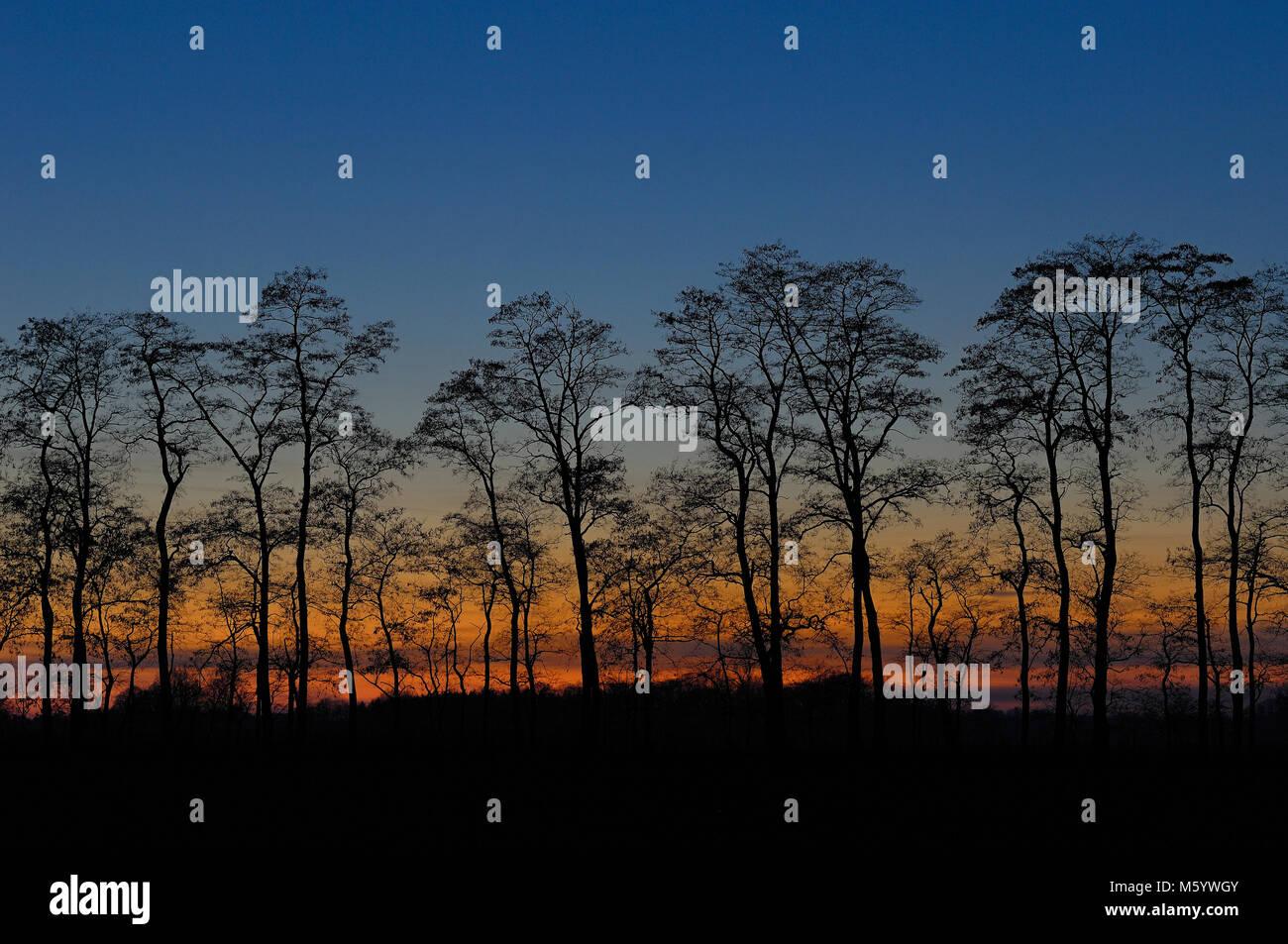Baumreihe im Sonnenuntergang Stock Photo