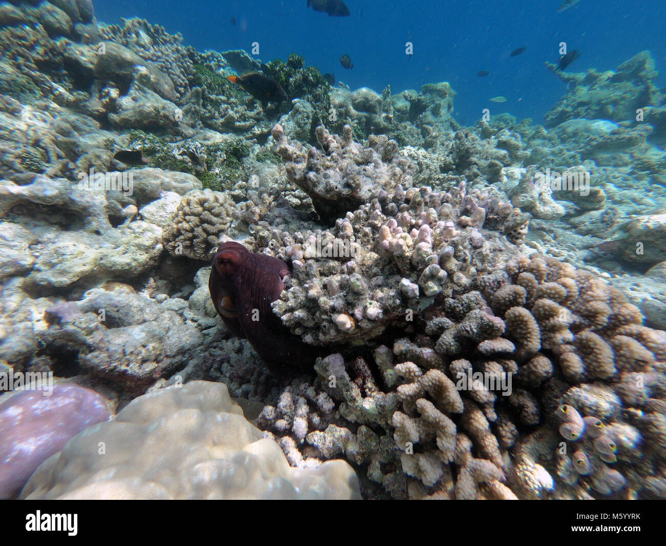 Octopus hiding on coral reef in the Maldives, Pacific Ocean. Natural environment, nature, sea ecology, mimicry - Stock Image