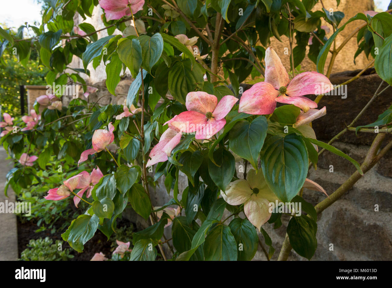 Close Up Of Pink Flowering Bracts On Dogwood Tree With Mixed Border