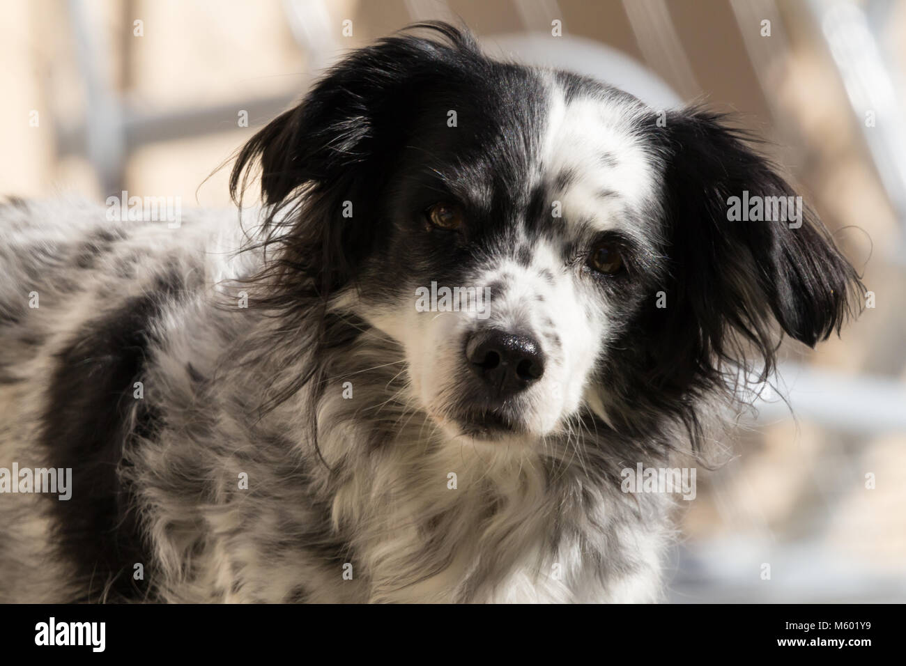Dog, Canis lupus familiaris,  Springer Spaniel Cross,  Adult Male, Taken February 2018 - Stock Image