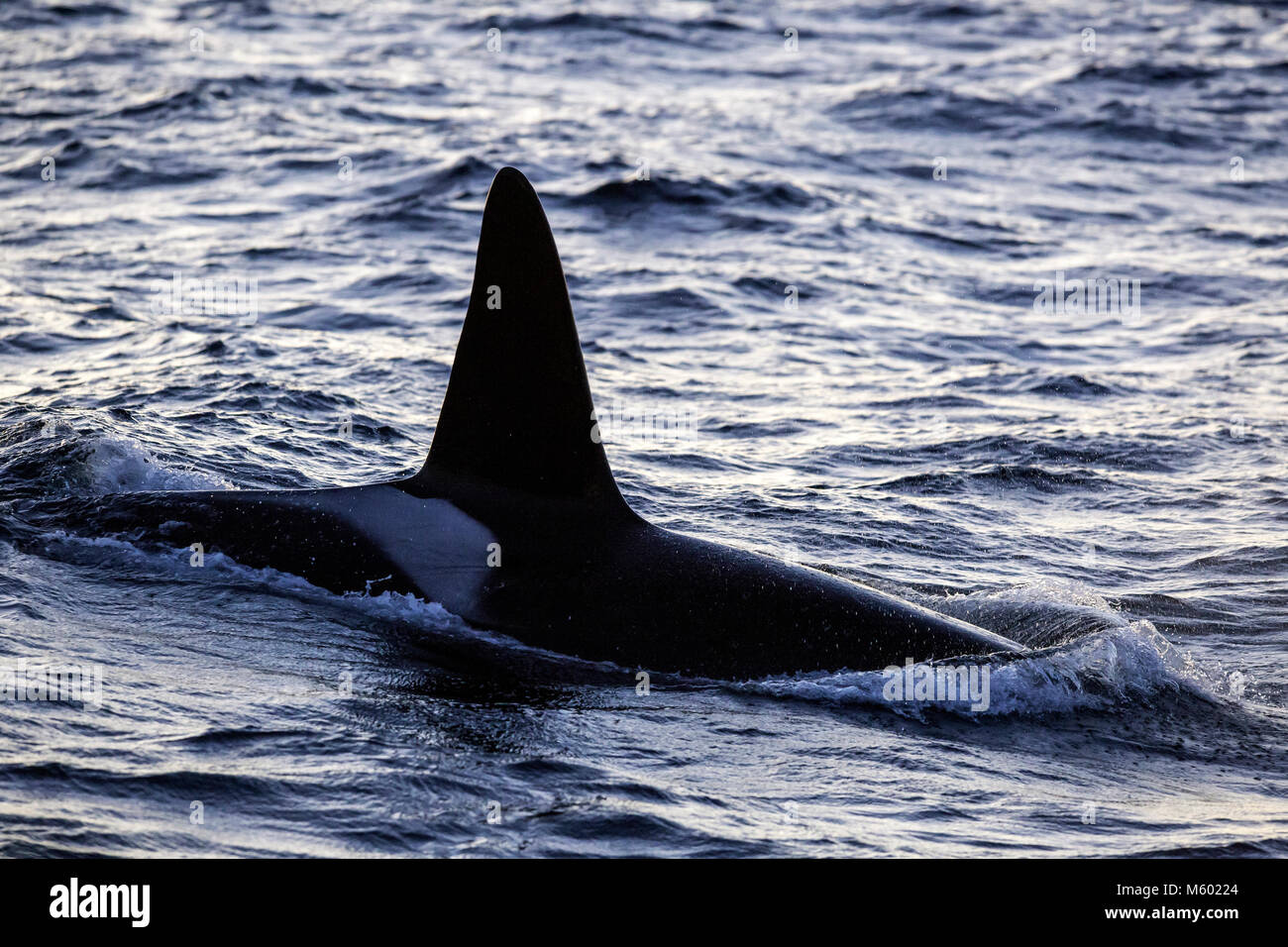 Killer Whale on Water Surface, Orcinus orca, Andfjorden, Andoya Island, Norway - Stock Image