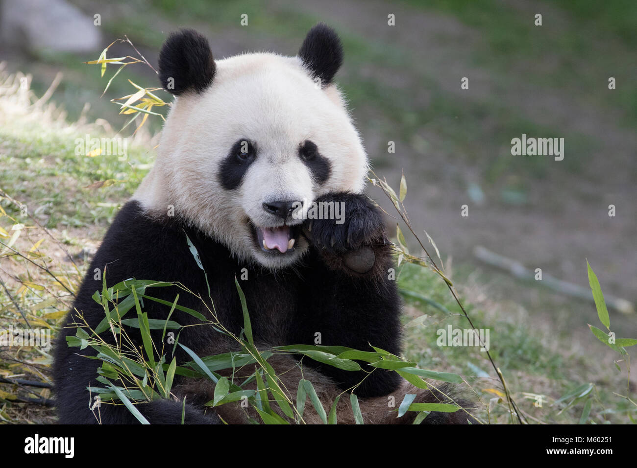 Giant male panda eating bamboo leaves - Stock Image