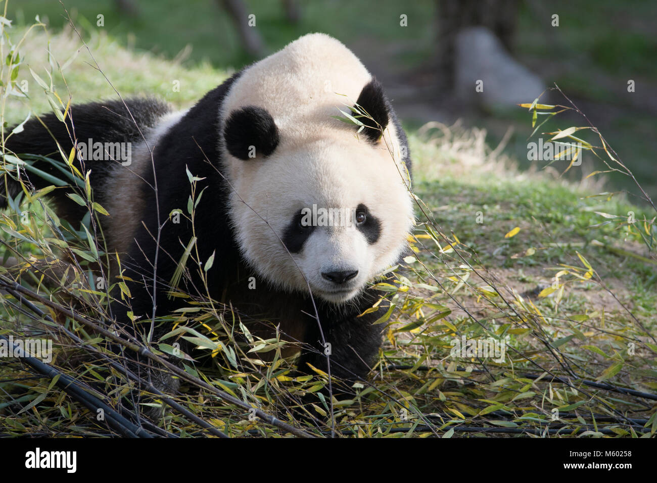 Male giant panda among bamboo leaves - Stock Image