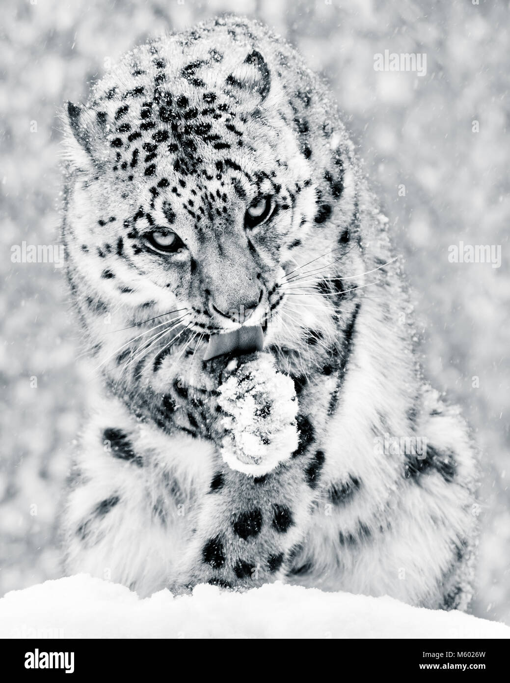 Snow Leopard in Snow Storm IV BW - Stock Image