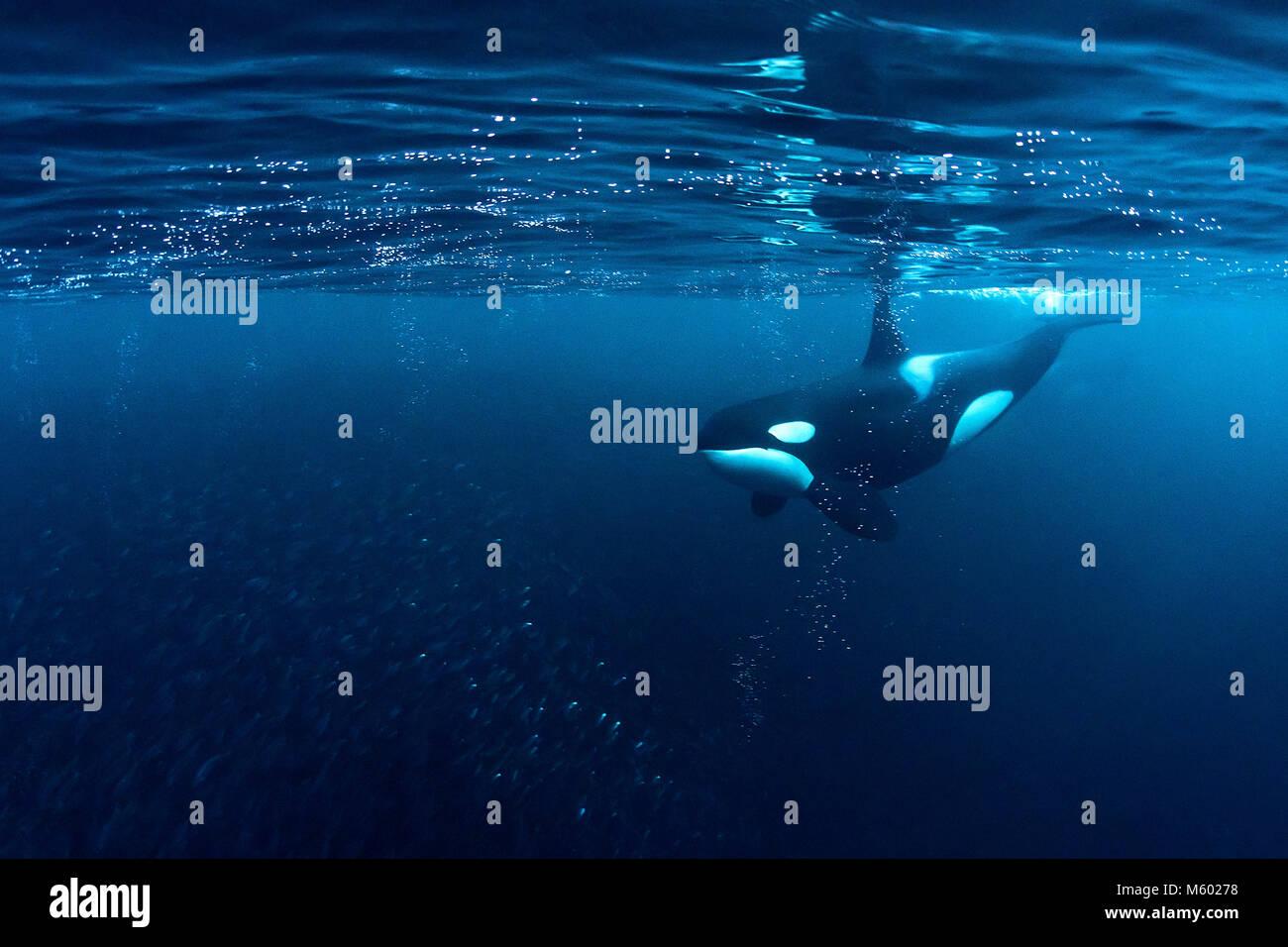 Killer Whale huntig Herring, Orcinus orca, Andfjorden, Andoya Island, Norway - Stock Image