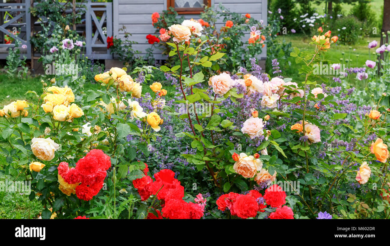 Flower bed of red, yellow, orange roses in the sun after rain on the background of a small wooden house, rural style, Stock Photo
