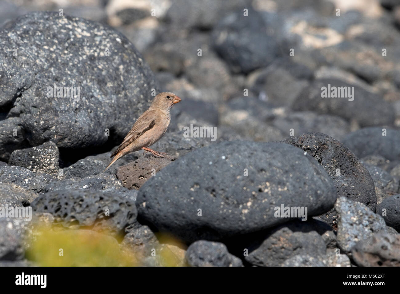 Trumpeter Finch (Bucanetes githagineus amantum) - Stock Image