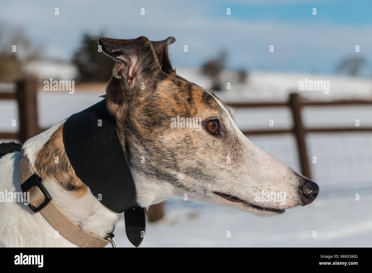 Portrait of a beautiful brindle and white ex-racing (retired) greyhound in sunshine against a snowy background - Stock Image