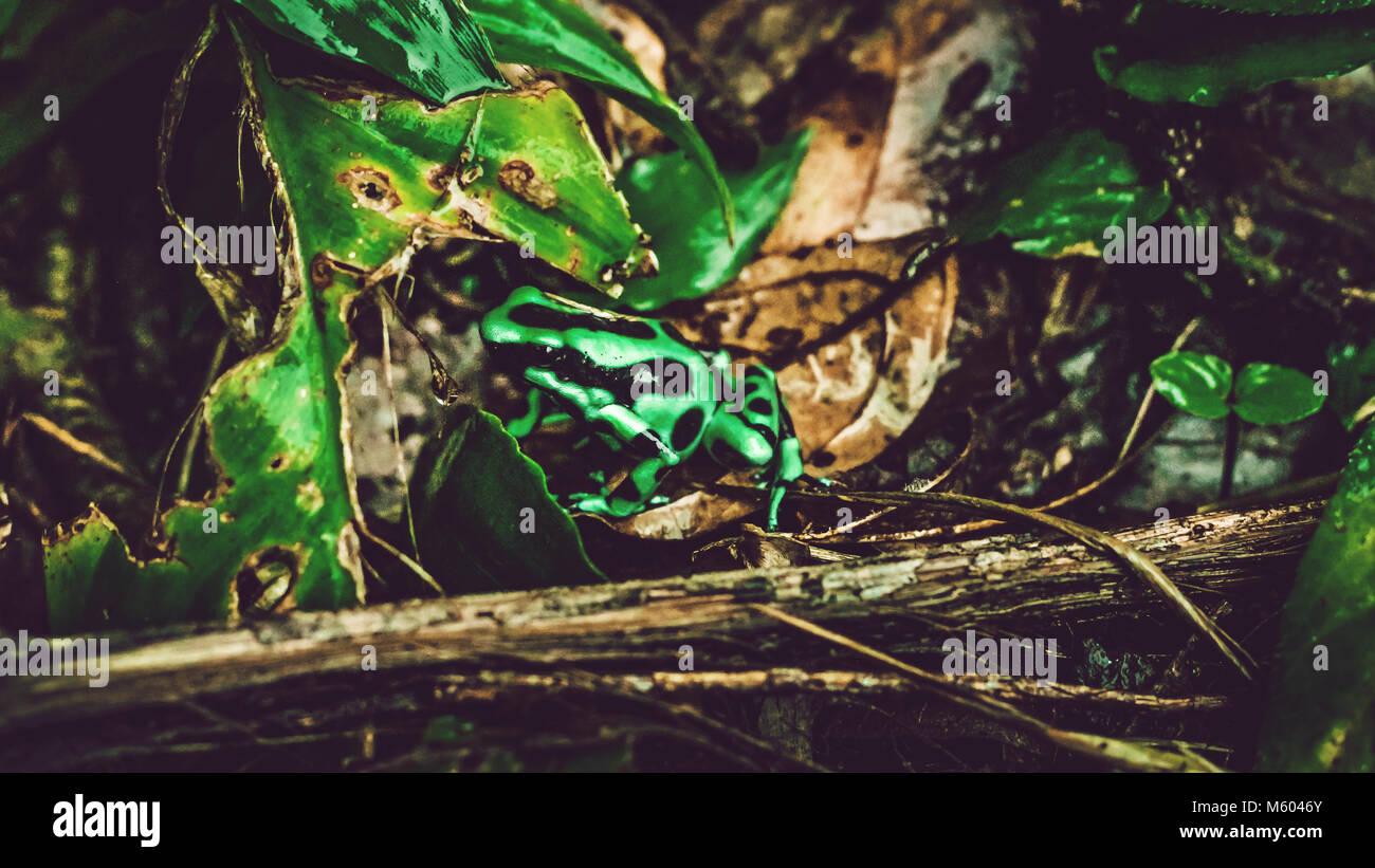 Costa Rican rainforest with green and black frog - Stock Image