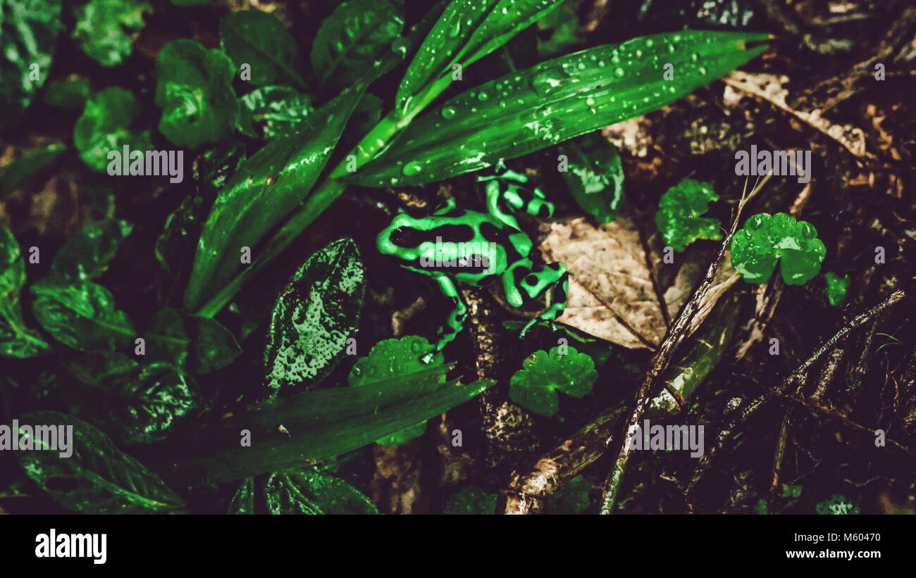 Costa Rican green and black frog in between leaves in rainforest - Stock Image