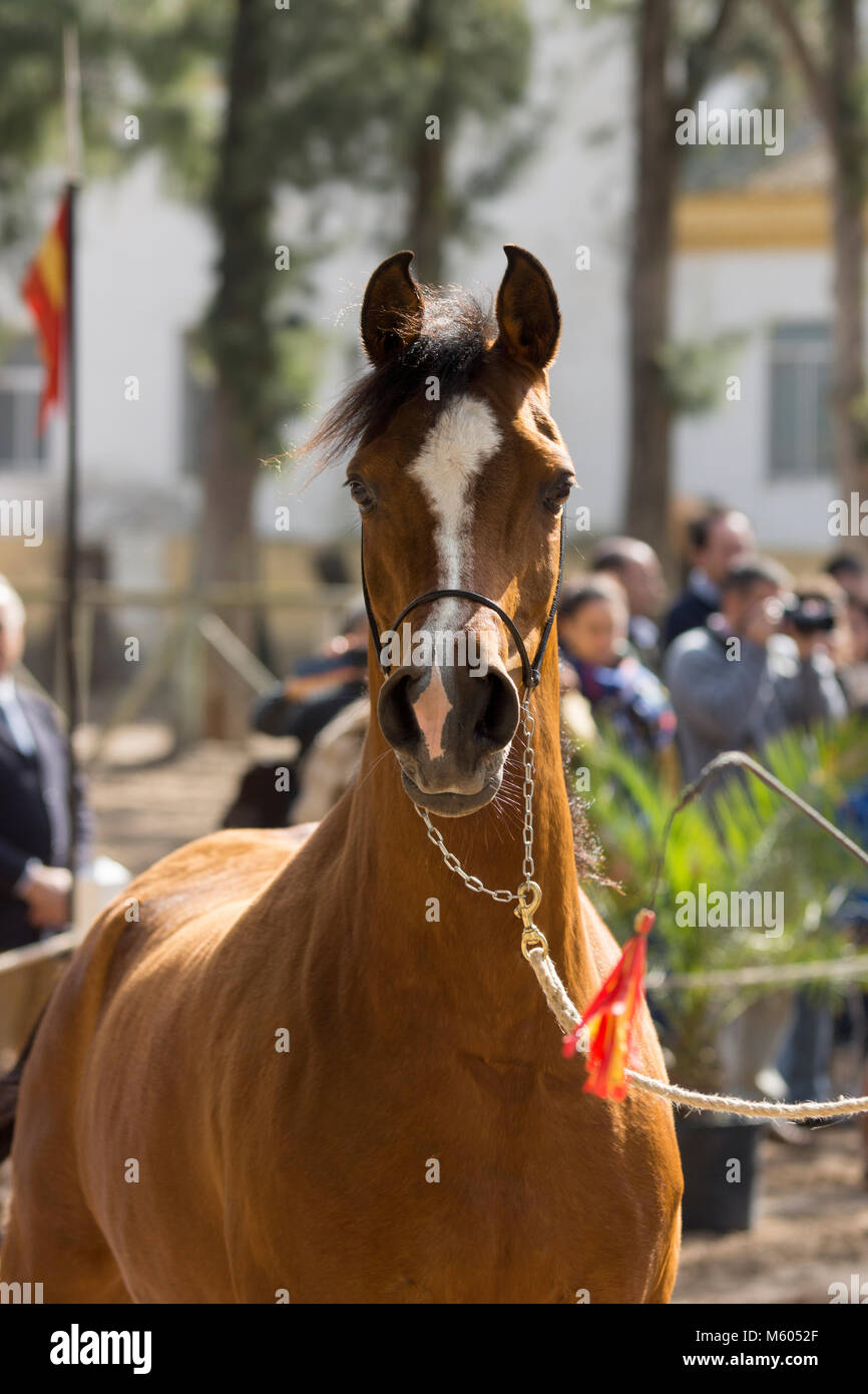 Beautiful arabian horse mare in a show - Stock Image