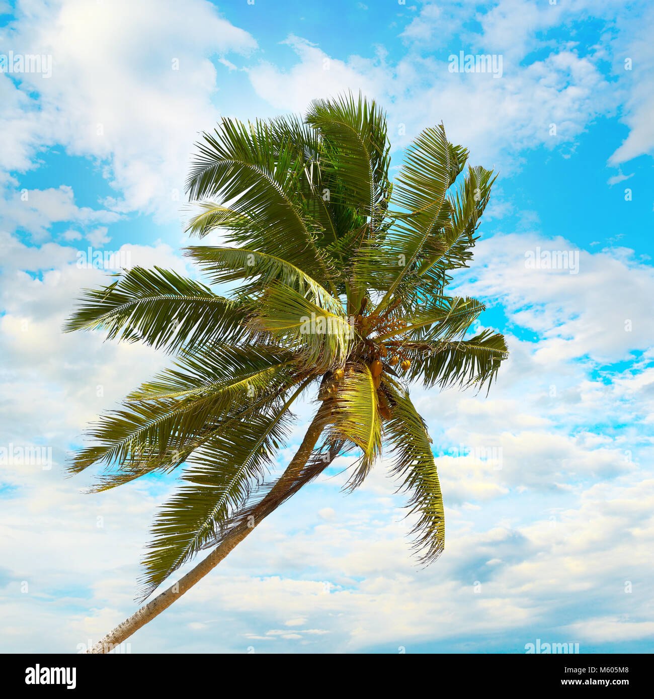 Coconut palm on background the blue sky with white clouds. - Stock Image
