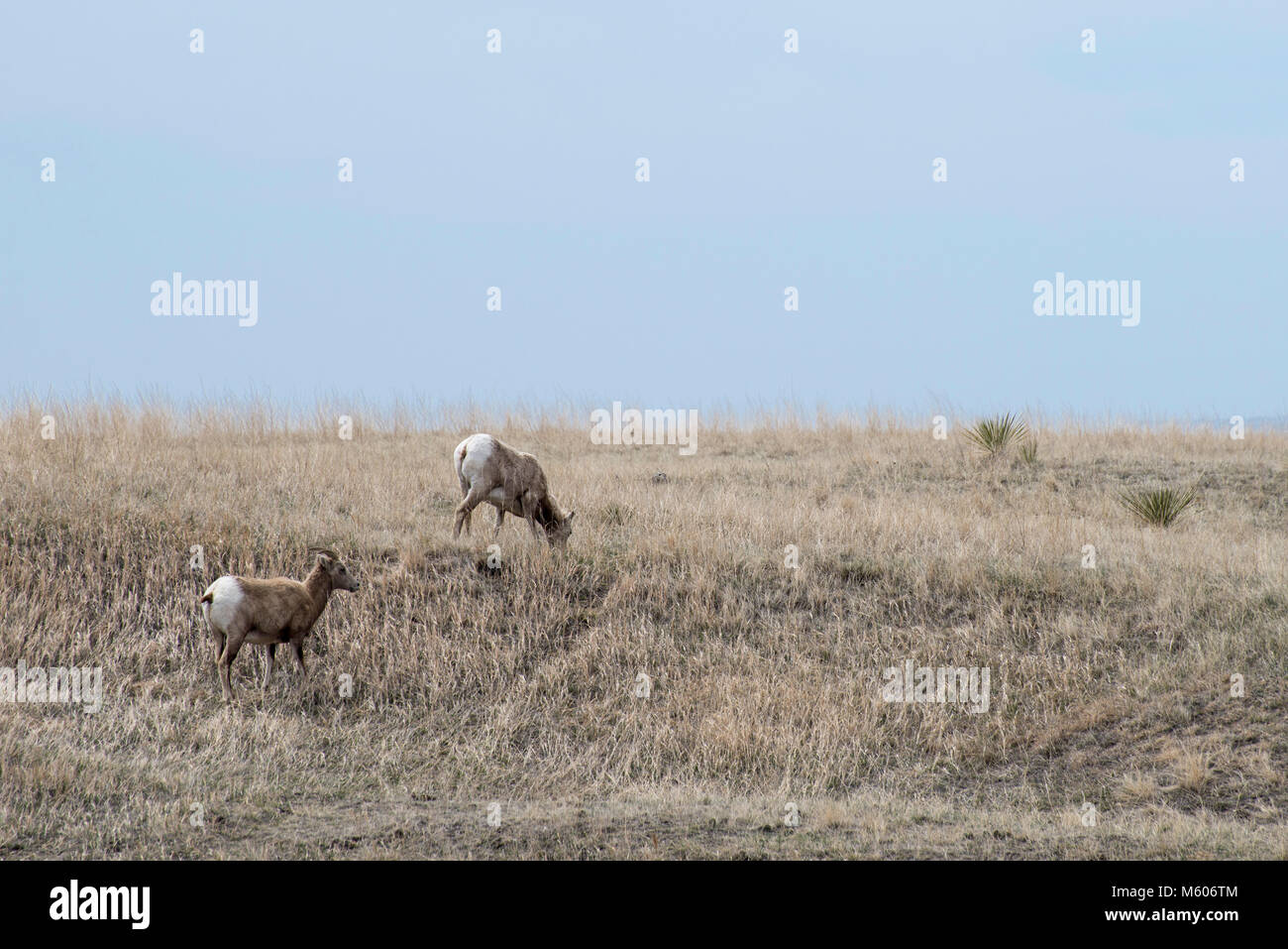 South Dakota.  Badlands National Park.  Bighorn Sheep, Ovis canadensis. Two Bighorn sheep grazing in the Badlands. Stock Photo
