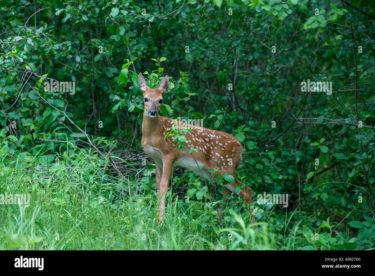 Vadnais Heights, Minnesota. John H. Allison forest.  White-tailed deer, Odocoileus virginianus. Fawn hiding in the - Stock Image
