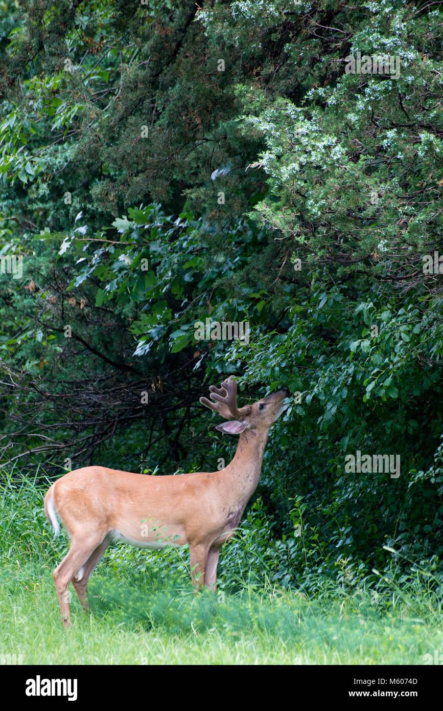 Vadnais Heights, Minnesota. John H. Allison forest.  White-tailed deer, Odocoileus virginianus. White-tailed buck - Stock Image