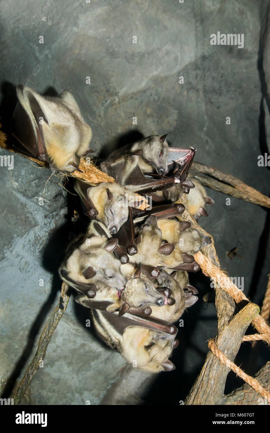 Apple Valley, Minnesota. Minnesota Zoo.  Egyptian fruit bat , Rousettus aegyptiacus. Fruit bats hanging on branches Stock Photo