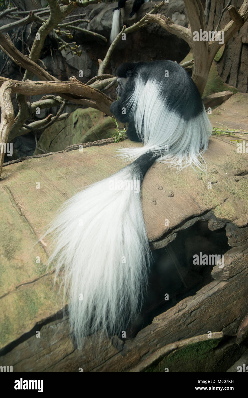Apple Valley, Minnesota. Minnesota Zoo.  Black and White Colobus Monkey, Colobus guereza. - Stock Image