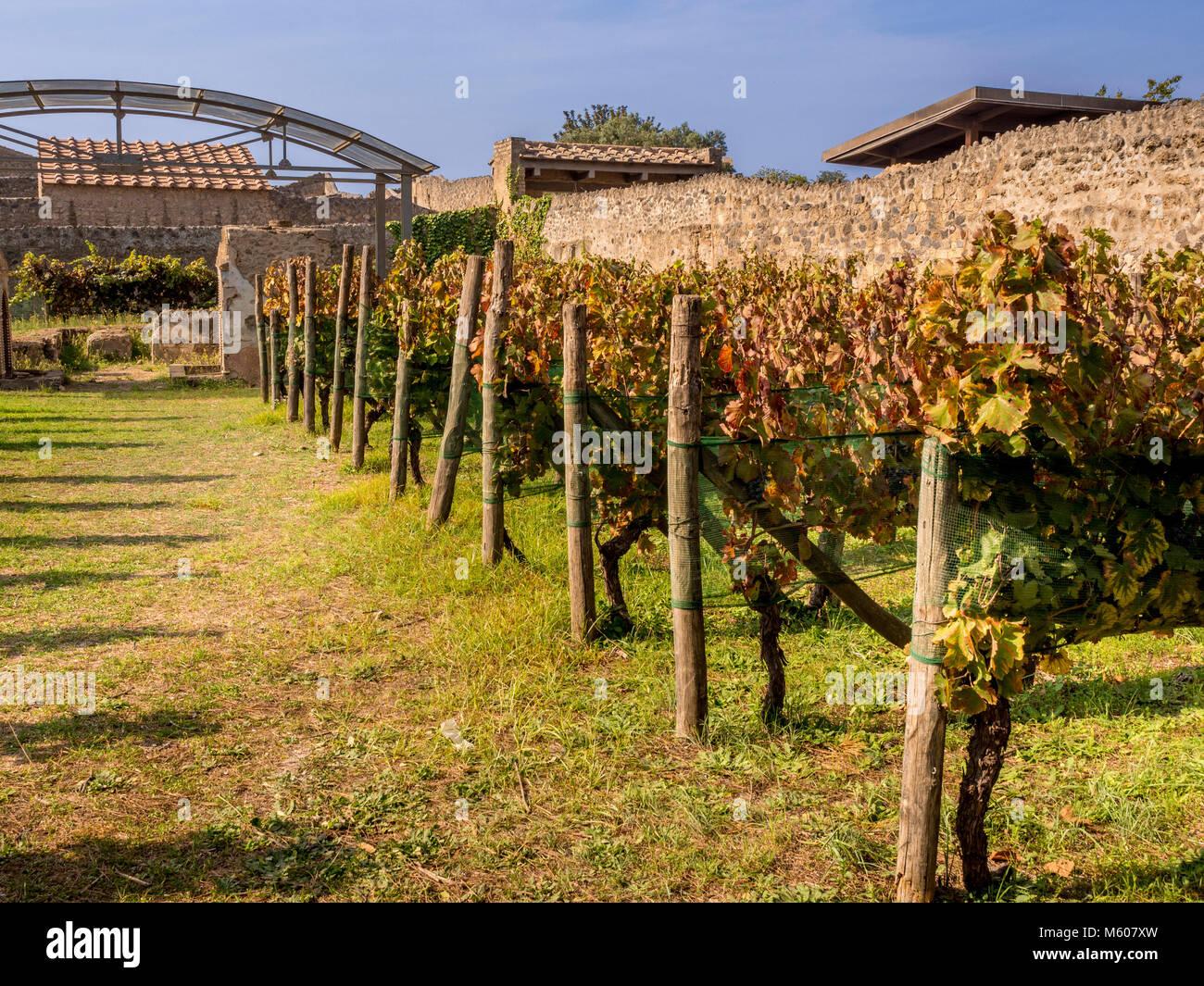 Reproduction vineyard at Casa del Triclinio Estivo, Pompeii, Italy. - Stock Image