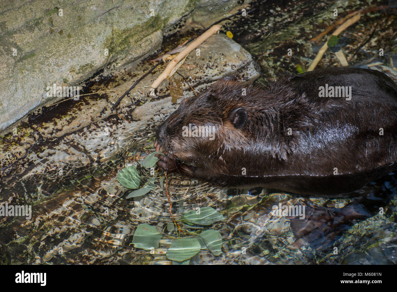 Apple Valley, Minnesota. Minnesota Zoo.  American Beaver, Castor canadensis. Beaver feeding on an aquatic plant. Stock Photo