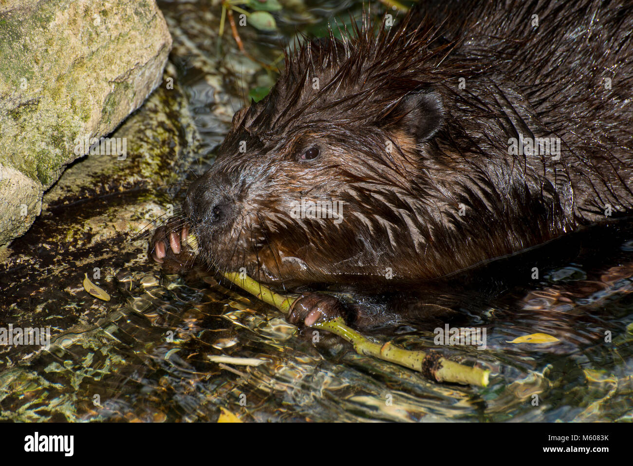 Apple Valley, Minnesota. Minnesota Zoo.  American Beaver, Castor canadensis.  Beaver chewing the bark off a branch. Stock Photo