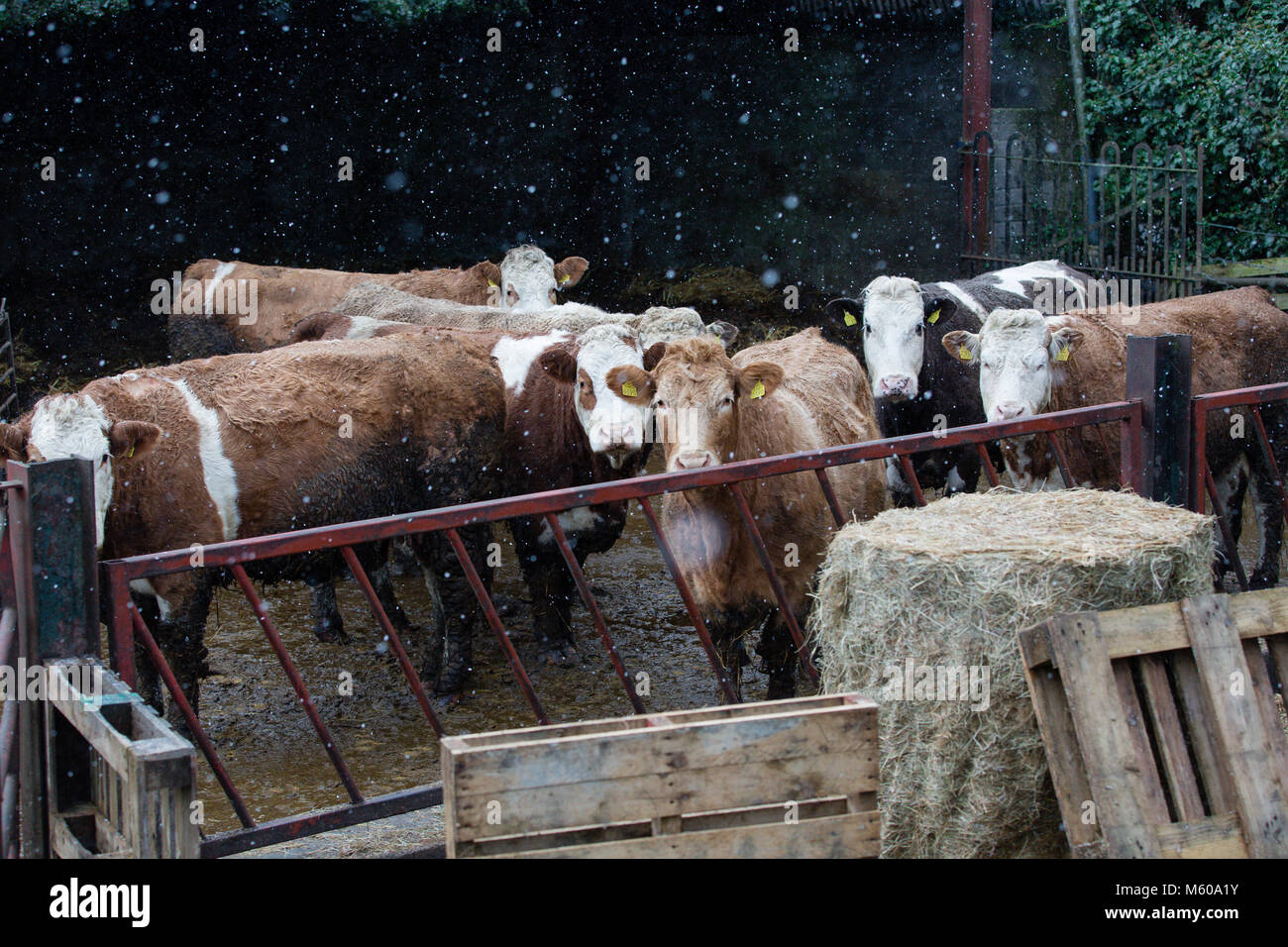 Snow Falling On Simmental Cattle Standing Outside The Barn In Kilmore Kilcock Co Meath Ireland