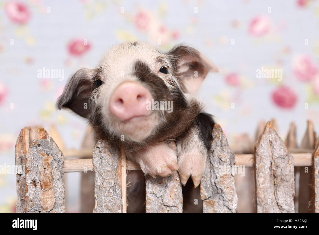 Domestic Pig, Turopolje x ?. Piglet in a small enclosure. Studio picture against a blue background with rose flower - Stock Image