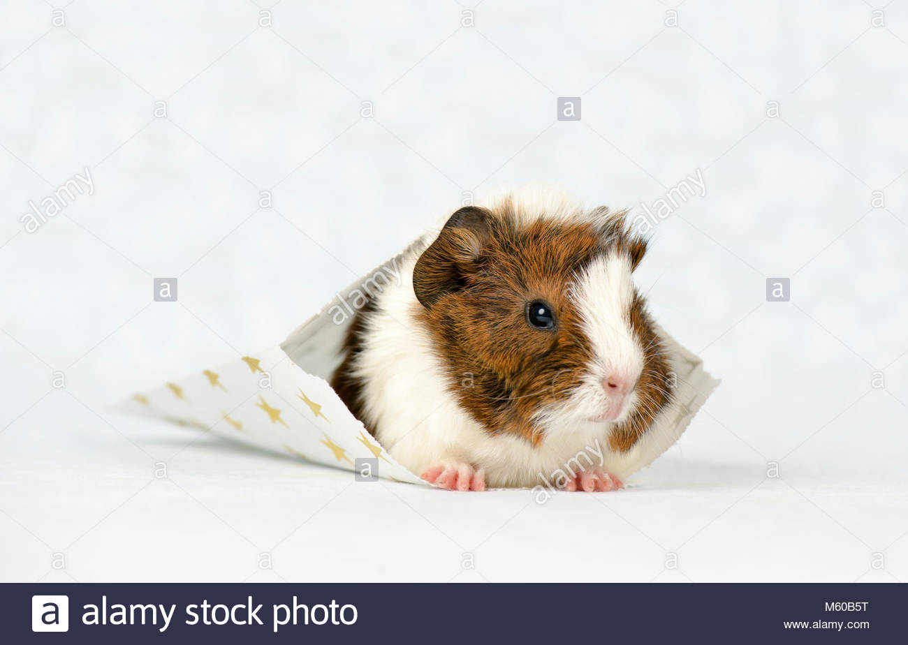 Golden guinea pig stock photos golden guinea pig stock images domestic guinea pig young 3 weeks old in a white bag with golden jeuxipadfo Gallery