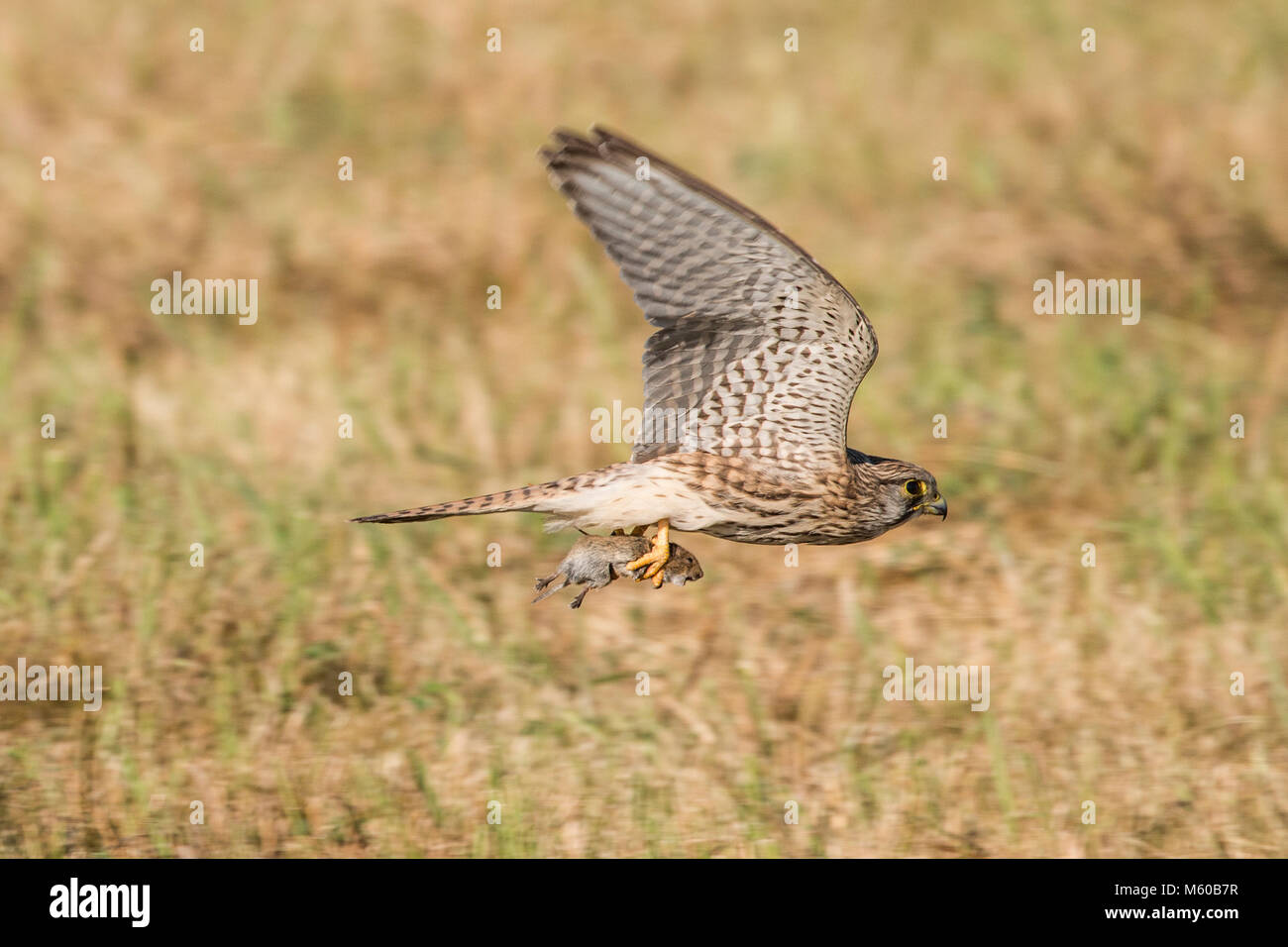 Common Kestrel (Falco tinnunculus). Female with mouse prey in flight. Germany... - Stock Image