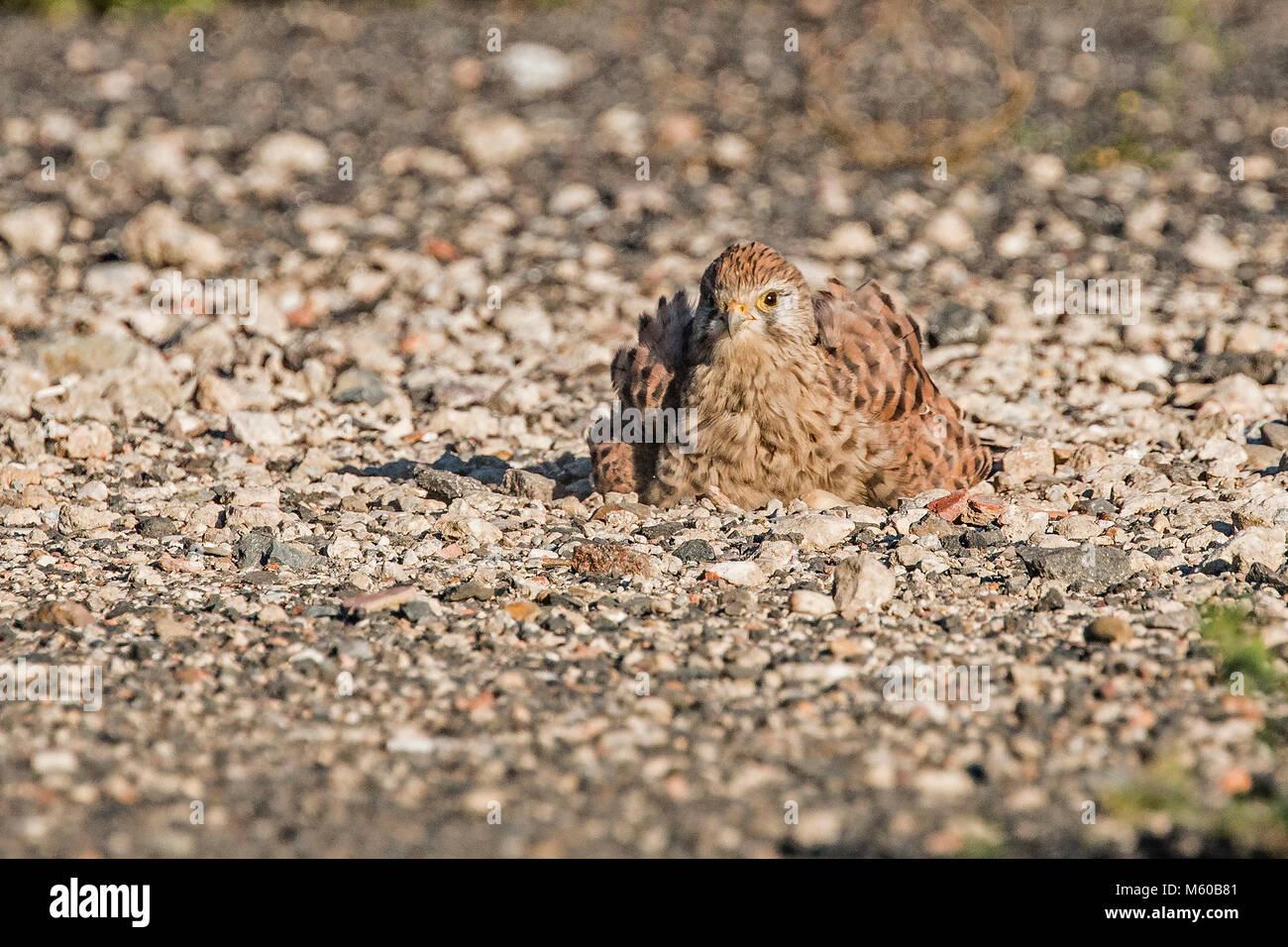 Common Kestrel (Falco tinnunculus). Female taking a sandbath. Germany.. - Stock Image