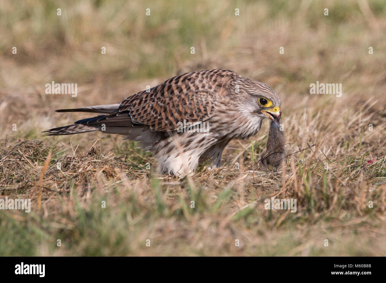Common Kestrel (Falco tinnunculus). Female with mouse prey standing on the ground. Germany.. - Stock Image