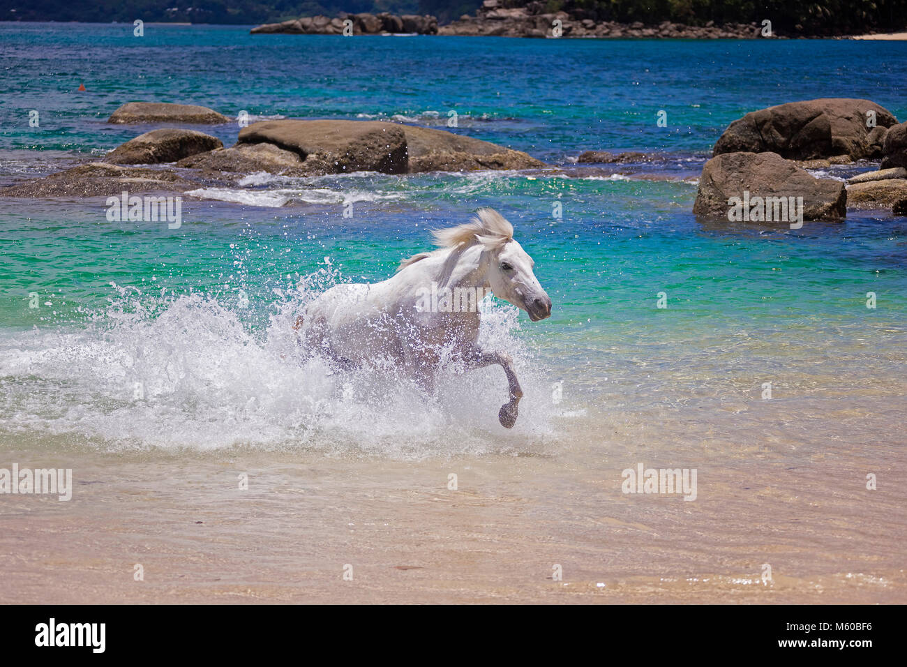 Seychelles Pony. Gray adult galloping in the sea. Seychelles - Stock Image