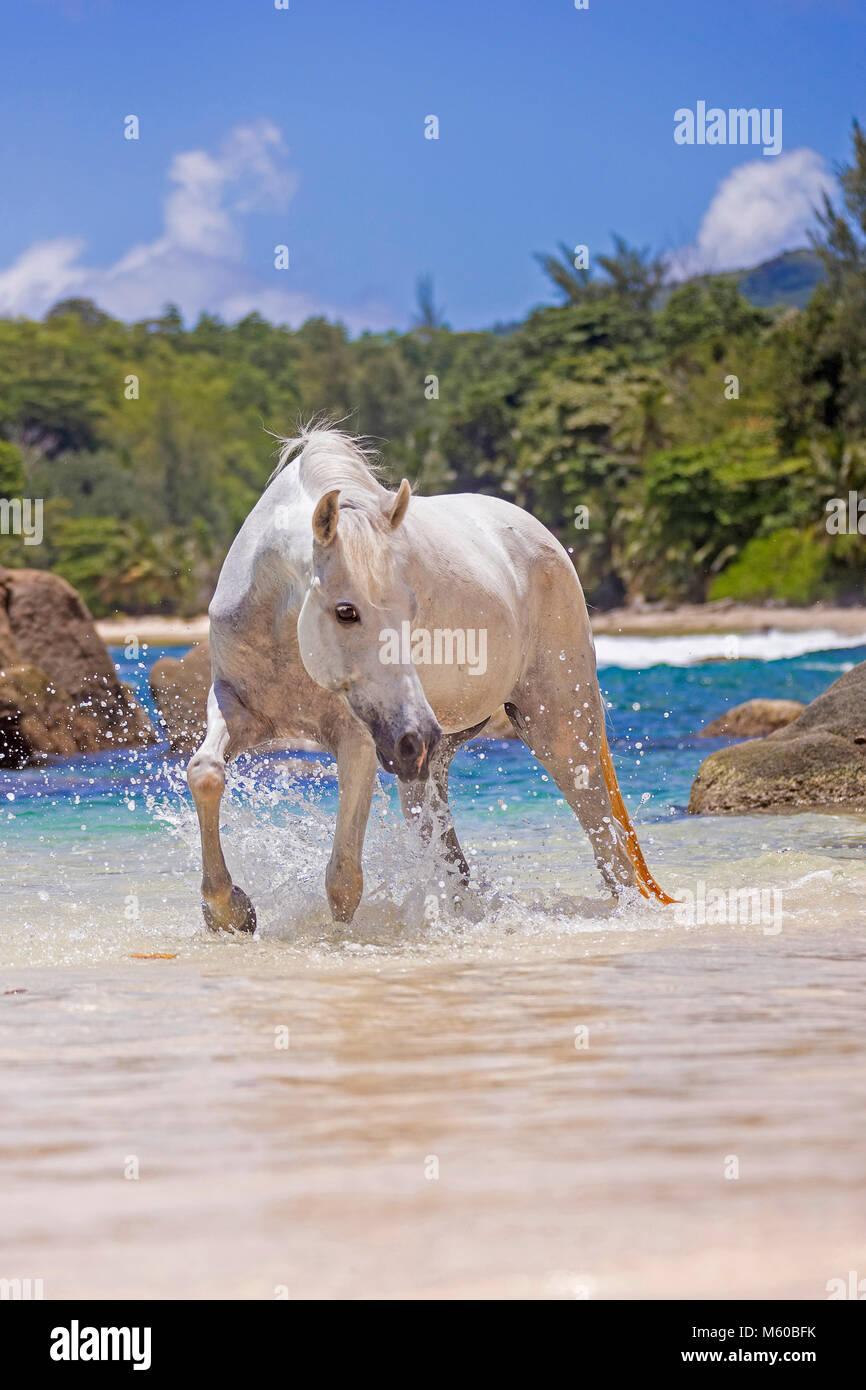 Seychelles Pony. Gray adult walking in the sea. Seychelles - Stock Image