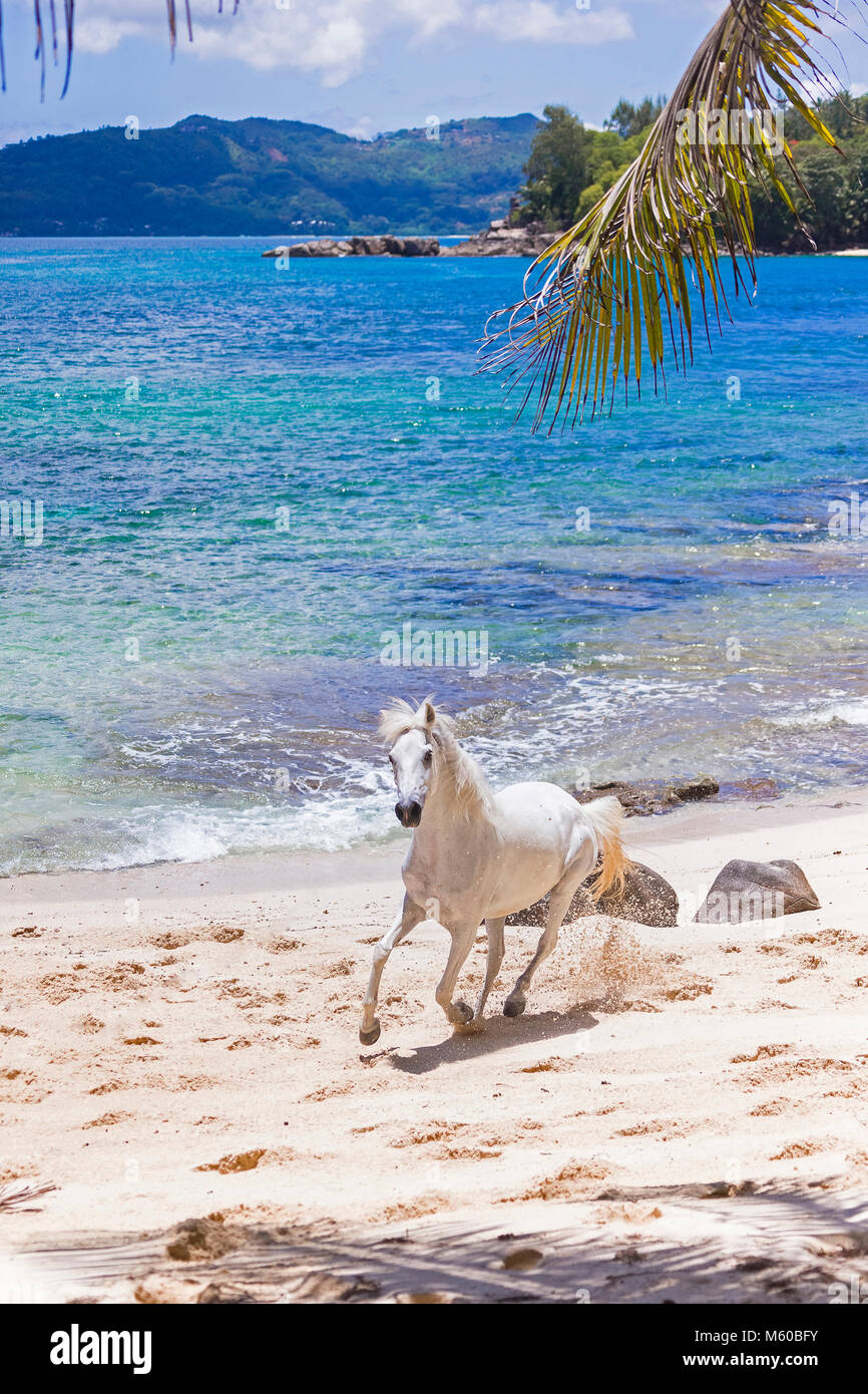 Seychelles Pony. Gray adult galloping on a tropical beach. Seychelles - Stock Image
