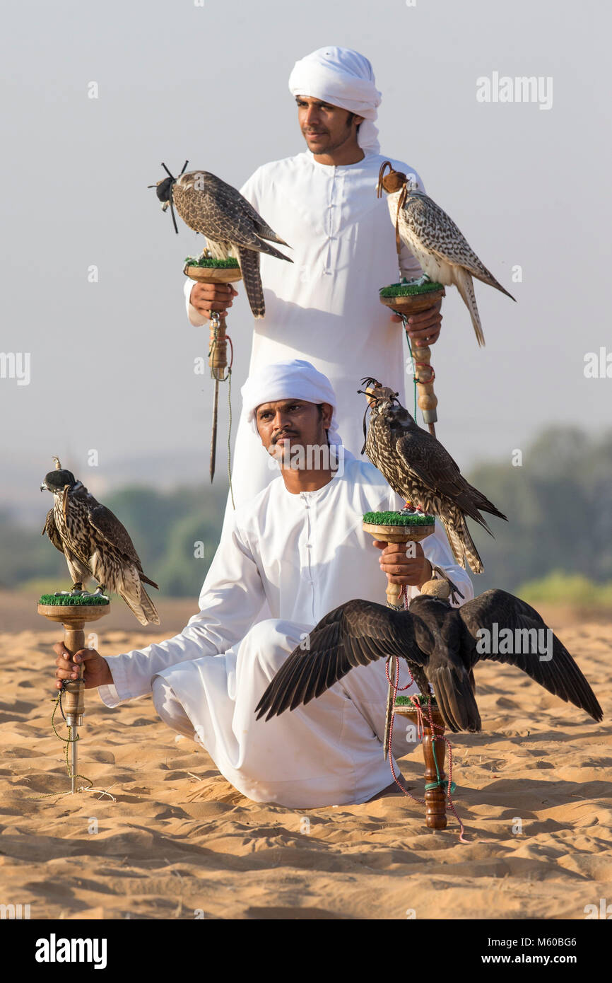 Saker Falcon (Falco cherrug). Two falconers with five a trained birds on their blocks. Abu Dhabi - Stock Image